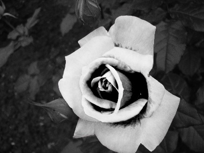 http://zsnesfreak.deviantart.com/art/Black-and-White-Flower-105182808